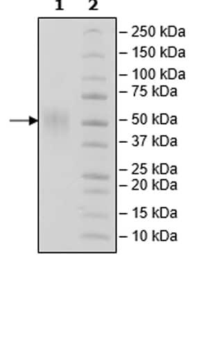 SDS-PAGE -  (ab271372)