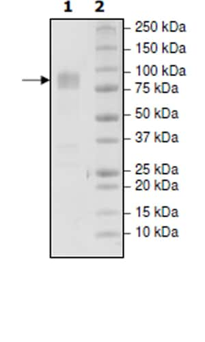 SDS-PAGE - Recombinant Human CD86 protein (Tagged) (Biotin) (ab271375)