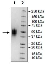 SDS-PAGE - Recombinant Human VISTA protein (Tagged) (ab271380)