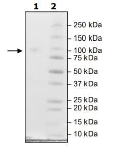 SDS-PAGE - Recombinant Human HHLA2 protein (Tagged) (Biotin) (ab271385)