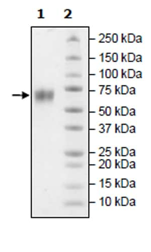 SDS-PAGE - Recombinant Human BACE1 protein (Tagged) (ab271386)