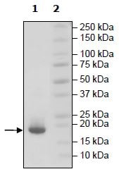 SDS-PAGE - Recombinant Human BAFF protein (Tagged) (ab271387)