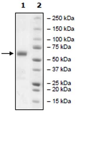 SDS-PAGE - Recombinant Human CD272/BTLA protein (Tagged) (ab271392)