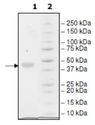 SDS-PAGE - Recombinant Human Nectin 2 protein (Tagged) (ab271400)