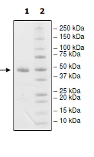 SDS-PAGE - Recombinant Human Nectin 2 protein (Tagged) (Biotin) (ab271401)