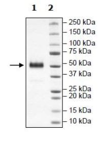SDS-PAGE - Recombinant Human PVRIG/CD112R protein (Tagged) (ab271402)