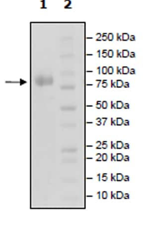 SDS-PAGE - Recombinant Human CDC123 protein (Tagged) (Biotin) (ab271405)