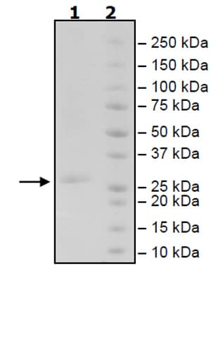 SDS-PAGE - Recombinant Human 4-1BBL protein (Tagged) (ab271406)
