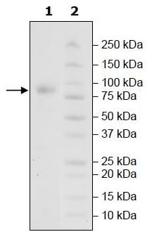 SDS-PAGE - Recombinant Human Poliovirus Receptor/PVR protein (Tagged) (ab271410)