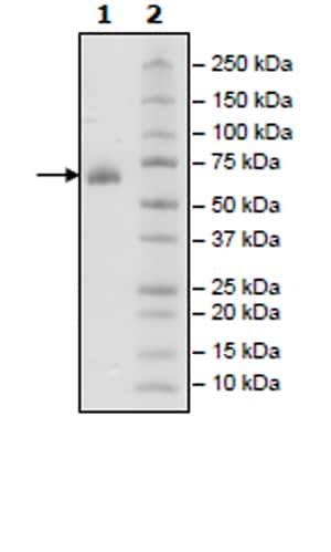 SDS-PAGE - Recombinant Human CD2 protein (Tagged) (Biotin) (ab271412)