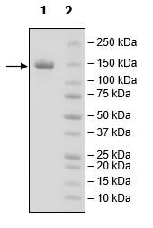 SDS-PAGE - Recombinant Human CD22 protein (Tagged) (ab271413)
