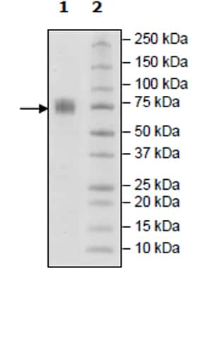 SDS-PAGE - Recombinant Human 2B4 protein (Tagged) (Biotin) (ab271416)