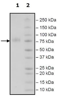 SDS-PAGE - Recombinant Human CD276 protein (Tagged) (ab271420)
