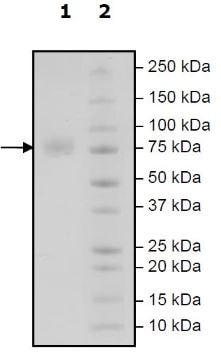 SDS-PAGE - Recombinant Human CD276 protein (Tagged) (Biotin) (ab271421)