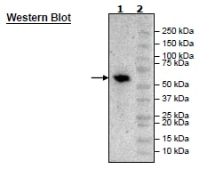 Western blot - Recombinant Human BTN3A1 protein (Tagged) (ab271422)