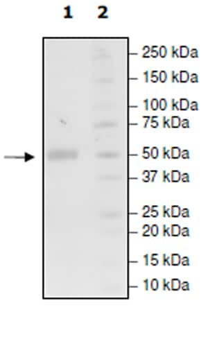 SDS-PAGE - Recombinant Human TMIGD2/IGPR1 protein (Tagged) (Biotin) (ab271424)