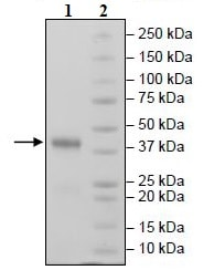 SDS-PAGE - Recombinant Mouse CD38 protein (Tagged) (ab271429)