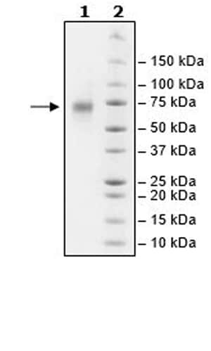 SDS-PAGE - Recombinant Human CD39 protein (Tagged) (ab271430)