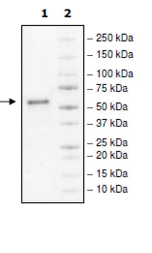 SDS-PAGE - Recombinant Human CD40 protein (Tagged) (ab271431)