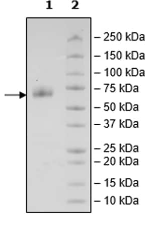 SDS-PAGE - Recombinant CD47 protein (Tagged) (ab271433)