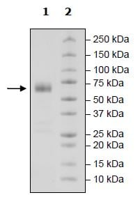 SDS-PAGE - Recombinant Human CD47 protein (Tagged) (Biotin) (ab271434)