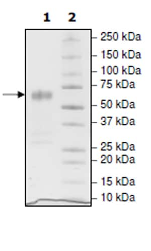 SDS-PAGE - Recombinant Human CD47 protein (Tagged) (Biotin) (ab271437)