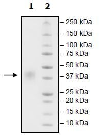 SDS-PAGE - Recombinant human CD47 protein (Active) (ab271439)