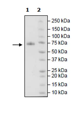 SDS-PAGE - Recombinant Human CD48 protein (Tagged) (ab271440)