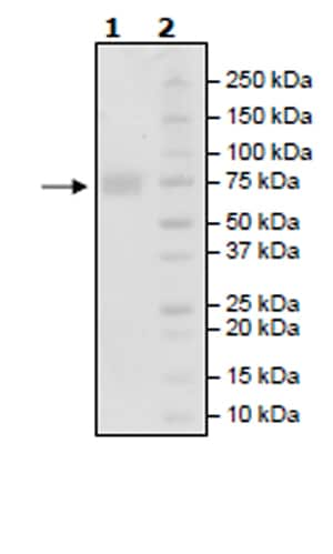 SDS-PAGE - Recombinant Human CD58 protein (Tagged) (Biotin) (ab271442)