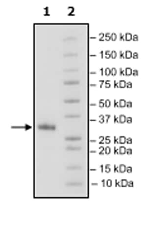 SDS-PAGE - Recombinant Mouse CD70 protein (Tagged) (ab271445)