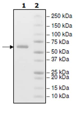 SDS-PAGE - Recombinant Human CD73 protein (Tagged) (ab271449)
