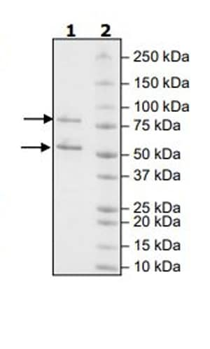 SDS-PAGE - Recombinant Human CDK1 + Cyclin B1 protein (Tagged) (ab271456)