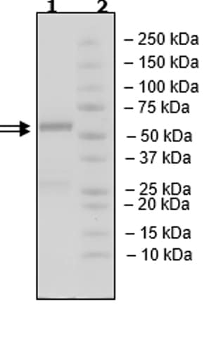 SDS-PAGE - Recombinant Human CDK4 + CCND3 protein (Tagged) (ab271459)
