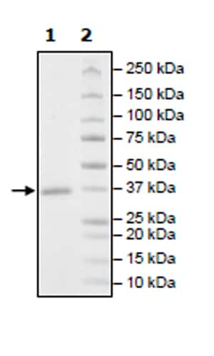 SDS-PAGE - Recombinant Human Cdk6 protein (Tagged) (ab271461)