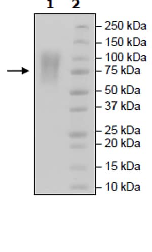 SDS-PAGE - Recombinant Human CEACAM1 protein (Tagged) (Biotin) (ab271466)
