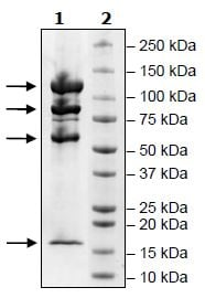 SDS-PAGE - Recombinant Human CRBN + DDB1 + CUL-4A + RBX1protein (Tagged) (ab271467)