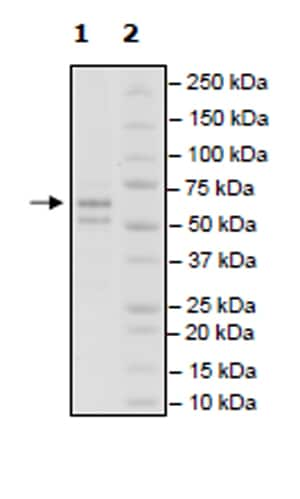 SDS-PAGE - Recombinant Rat CERK protein (Tagged) (ab271469)