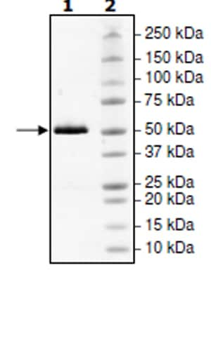 SDS-PAGE - Recombinant Human MERTK protein (Tagged) (ab271471)