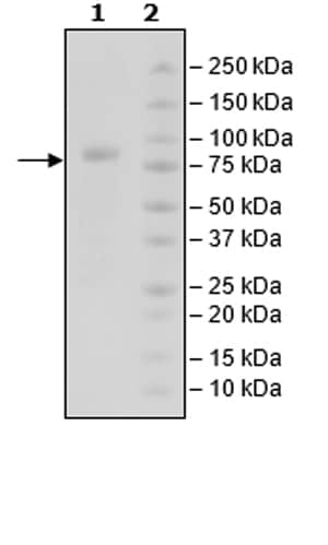 SDS-PAGE - Recombinant Human CRTAM protein (Tagged) (ab271474)