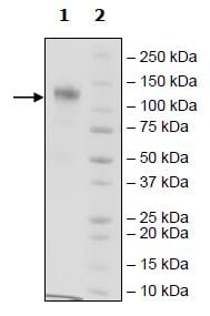 SDS-PAGE - Recombinant Human CSF-1-R protein (Tagged) (ab271476)