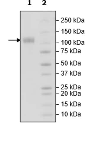 SDS-PAGE - Recombinant Human CSF-1-R protein (Tagged) (Biotin) (ab271477)