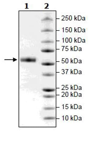 SDS-PAGE - Recombinant mouse CTLA4 protein (Active) (Biotin) (ab271481)