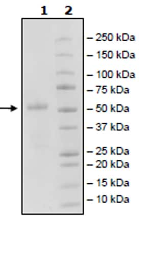 SDS-PAGE - Recombinant Woodchuck CTLA4 protein (Tagged) (ab271482)