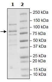 SDS-PAGE - Recombinant Human Cullin 2/CUL-2 protein (Tagged) (ab271483)