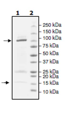 SDS-PAGE - Recombinant Human Cullin 3/CUL-3 + RBX1 protein (Tagged) (ab271484)