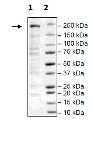 SDS-PAGE - Recombinant Human Dicer protein (His tag) (ab271487)