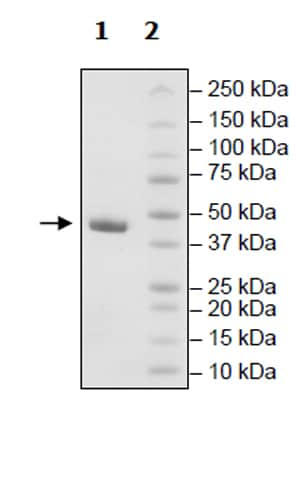 SDS-PAGE - Recombinant human DRAK2 protein (Active) (ab271489)