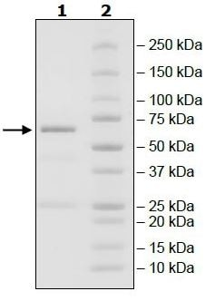 SDS-PAGE - Recombinant human DRAK2 protein (Tagged) (ab271490)