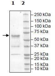 Western blot - Recombinant mouse DRAK2 protein (Tagged) (ab271491)