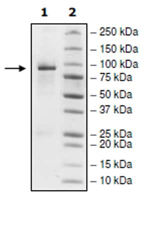 SDS-PAGE - Recombinant human EGFR (mutated T790 M + C797 S + L858 R) protein (Active) (ab271494)